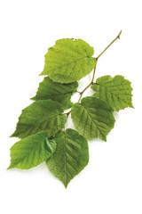 Zweig des Haselnussbaums mit Blättern, Nahaufnahme