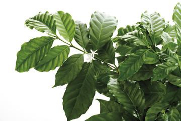 Kaffeebaum (Coffea arabica), Nahaufnahme