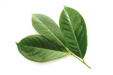 Lorbeer, Blätter, Prunus laurocerasus