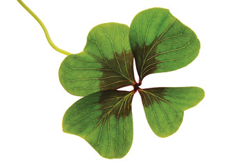 Glücksklee mit vier Blättern