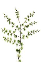 Lärche (Larix), Nahaufnahme