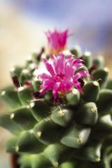 Dornen und Blüten von Kakteen, Nahaufnahme