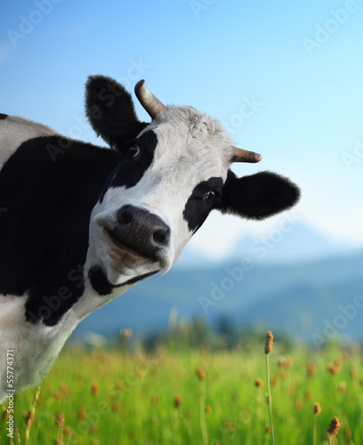 Staande foto Koe Cow