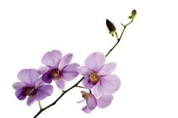 Rosa Orchidee vor weißem Hintergrund, Nahaufnahme