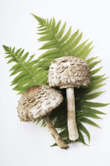 Parasol Pilze, erhöhte Ansicht