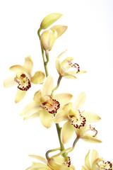 Gelbe Orchidee vor weißem Hintergrund, Nahaufnahme