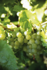 Grüne Weinrebe