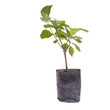 Small tree in planting bag isolated on white background