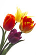 Tulpen (Tulipa gesneriana), Nahaufnahme