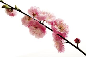 Blüten des Mandelbaums (Prunus triloba), Nahaufnahme