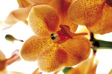 Orange Orchidee, Nahaufnahme