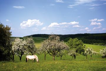Pferde, die in Obst Feld grasen
