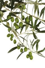 Frische Oliven am Zweig, Nahaufnahme