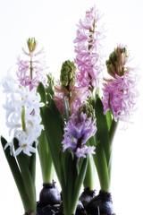 Hyacinthe, close up