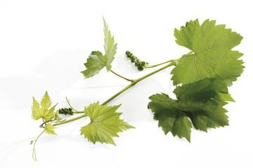 Zweig einer Weinrebe, Nahaufnahme