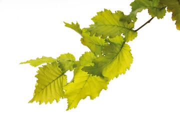Ulme, Blätter, Ulmus