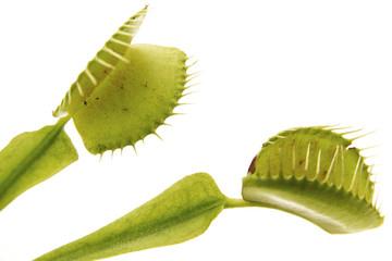 Venusfliegenfalle (muscipula) Blatt, Nahaufnahme