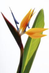 Crane Blume (Strelitziaceae), Nahaufnahme