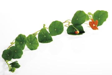 Blätter der Kapuzinerkresse (Tropaeolum majus)