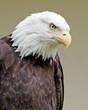 Weißkopfseeadler 7