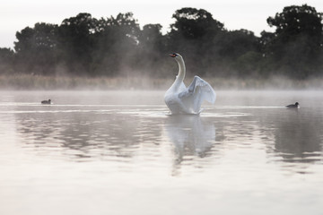 Swan stretching at dawn on lake