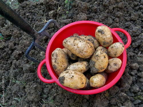 Fresh dug potatoes with garden fork