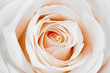 canvas print picture - Beautiful white rose.