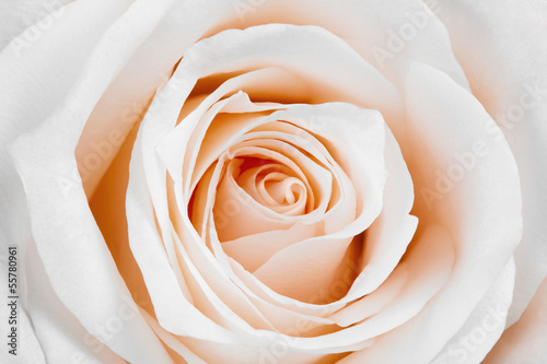 canvas print picture Beautiful white rose.