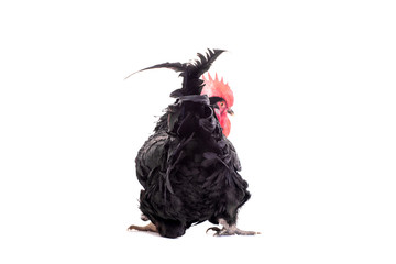 Black rooster isolated on a white background