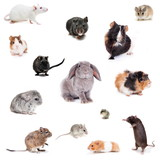 Set of Different spieces of rodents, isolated on white - 55783551