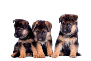 Three German shepherd puppies isolated on white background