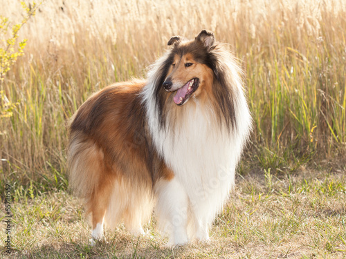 Portrait of purebred dog Rough Collie.