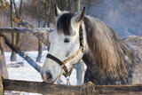 Portrait of dappled mare at winter open stall.