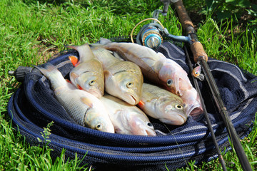 fishing catch - zander, chub and perch