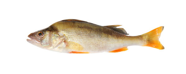 perch, isolated over white