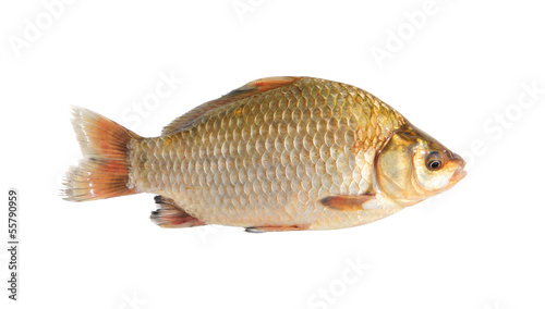 crucian isolated