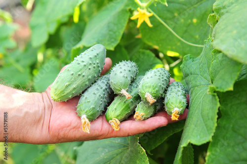 several cucumbers in a hand of farmer