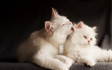 Two Persian cats, mother licking cub