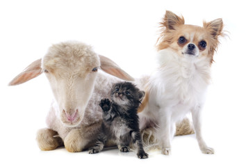 young lamb, kitten and chihuahua