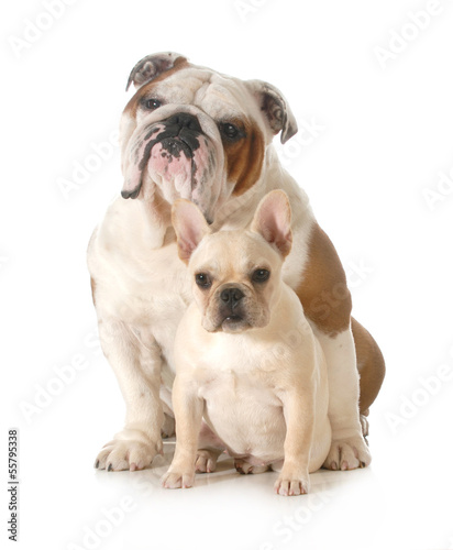 french and english bulldogs