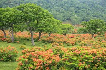 Japanese azalea of Mt. Akagi, Gunma