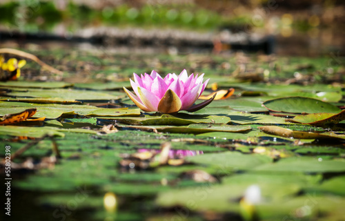 Pink water lily in the garden pond.