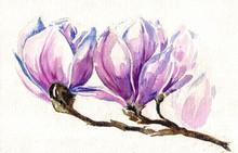 Frais, rose, magnolia de ressort arborescence de fleurs