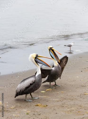 South American Pelicans on Ballestas Islands,Paracas.Peru.