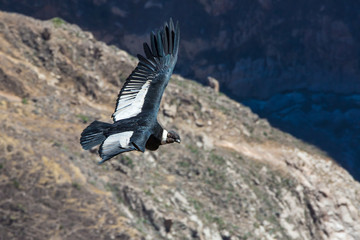 Flying condor over Colca canyon,Peru,South America.