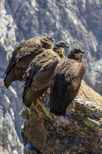 Three Condors at Colca canyon  sitting,Peru,South America.