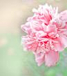 Beautiful peony flowers in sun blure