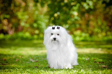 maltese dog portrait outdoors