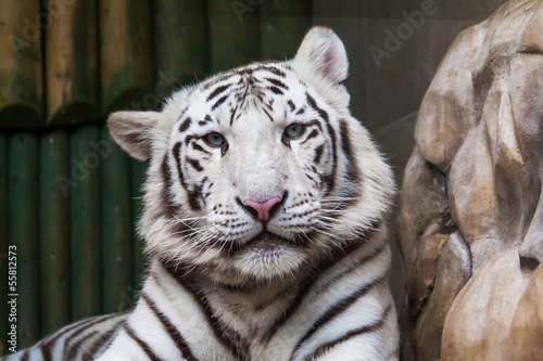 White tiger head