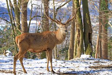 Winter Rothirsch